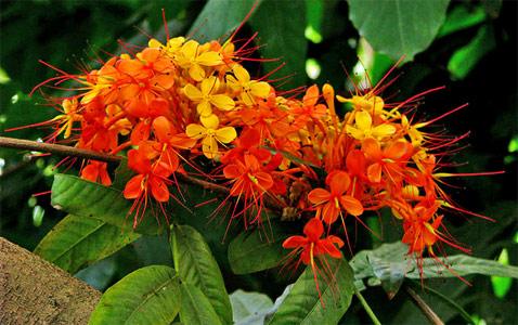 The Benefits of Ayurvedic Medicine: Ashoka_ashoka herb