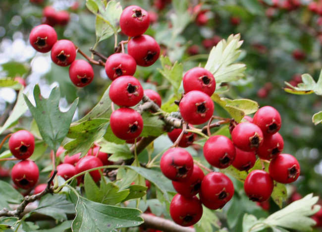 Hawthorn: Effective Herbal Remedy for Heart Failure