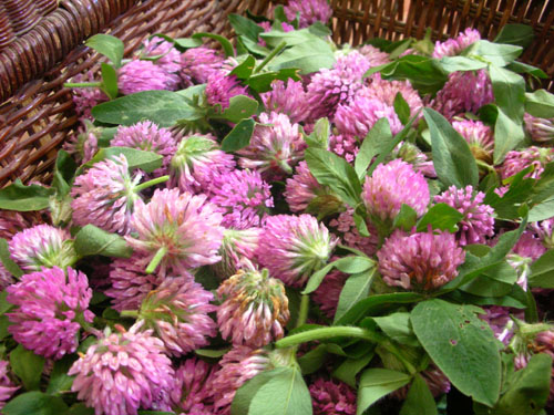 Red Clover for Health & Beauty_red clover flower buds in a basket