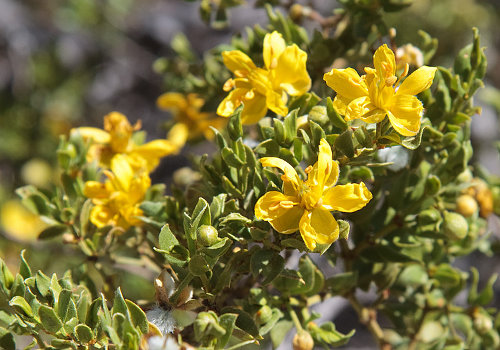 The Health Benefits & Dangers of Chaparral Herb_creosote bush flowers