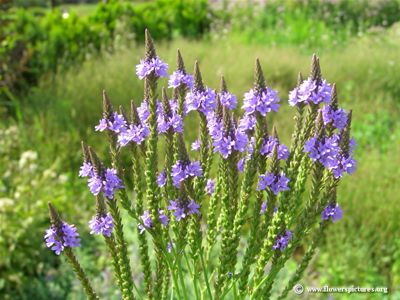 Health Benefits of Vervain Herb