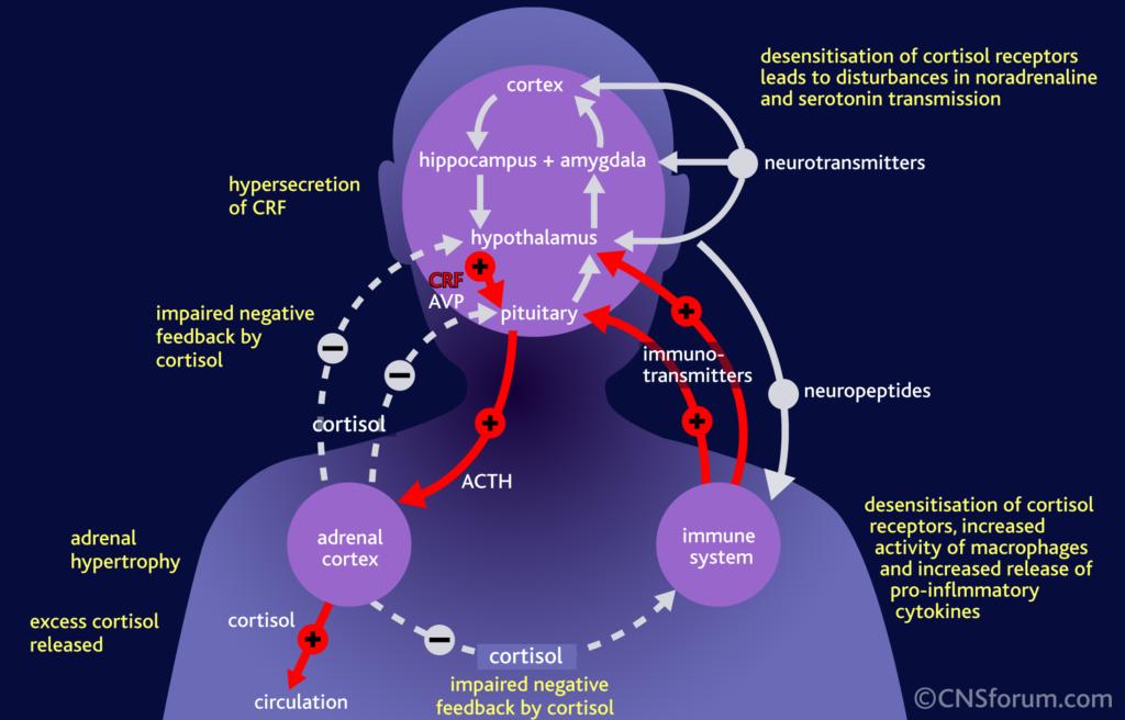 Cortisol: The True Cause of Heart Disease?_cortisol wreaks havoc
