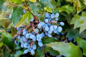 Blood Cleansing Herbs_oregon grape root
