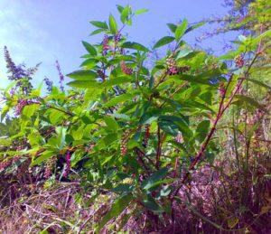 Blood Cleansing Herbs_poke root